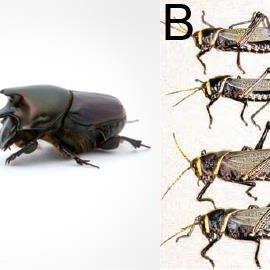 Stink bugs (Hemiptera: Pentatomidae) studied in this ...