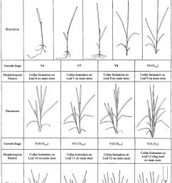 rice vegetative growth stages with morphological markers for a rice cultivar with 13 true leaves on [ 850 x 1277 Pixel ]
