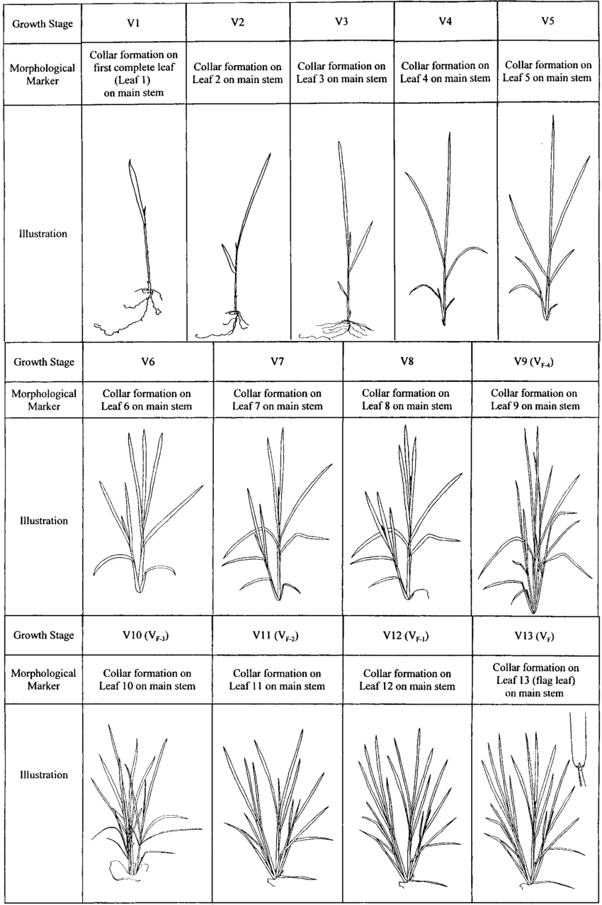 hight resolution of rice vegetative growth stages with morphological markers for a rice cultivar with 13 true leaves on