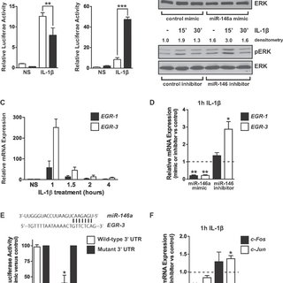 MiR-146 inhibits the induction of NF-κB, MAPK/EGR and AP-1