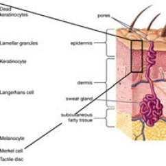 Dermis Layer Diagram Taiga Food Web Cross Section Of Human Skin The Three Main Layers Subcutaneous Fatty Tissue Hypodermis And Epidermis Are Shown As Well Eccrine Sweat Gland On Right
