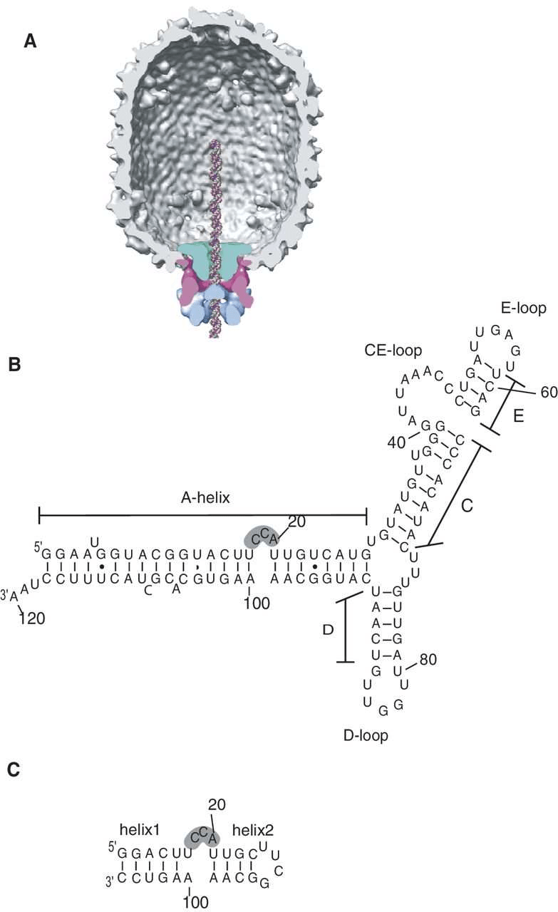 hight resolution of  a cross section of cryoem 3d reconstruction of prohead atpase motor complex with molecular envelopes identified as connector green prna pink and