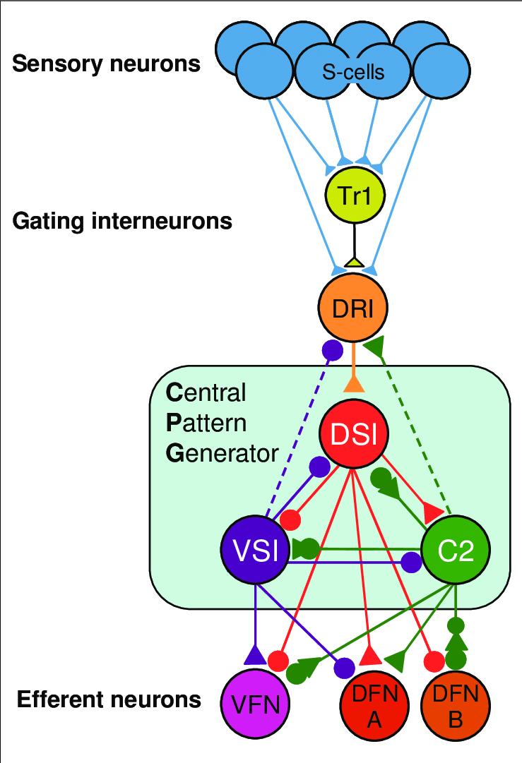 medium resolution of tritonia swim circuit this image illustrates fundamental featurestritonia swim circuit this image illustrates fundamental features of
