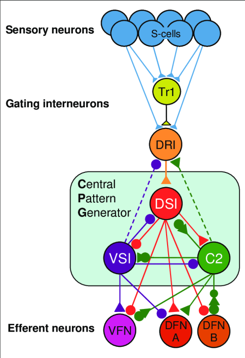 small resolution of tritonia swim circuit this image illustrates fundamental featurestritonia swim circuit this image illustrates fundamental features of
