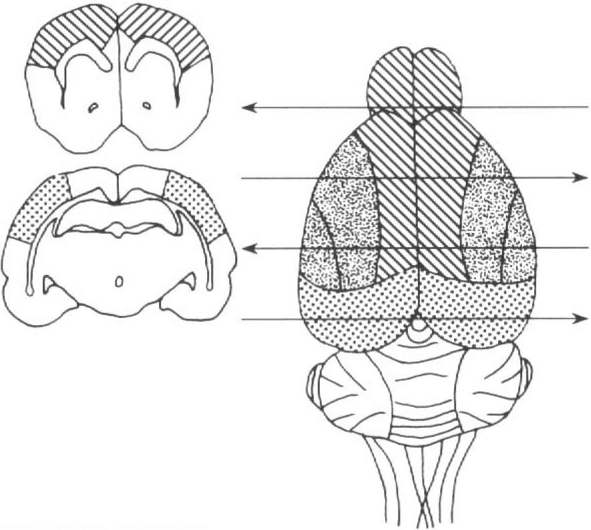 Schematic diagram of the dorsal view of rat brain showing
