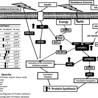 (PDF) Role of Ingested Amino Acids and Protein in the