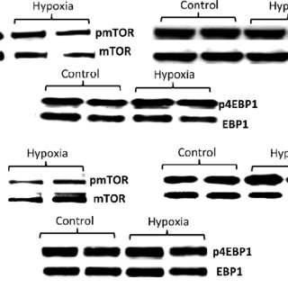(PDF) Hypoxia reduces placental mTOR activation in a