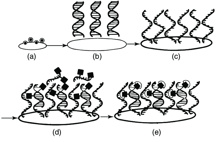 11 DNA probe assay. (a) Deposit sample organism on