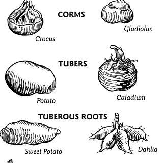 (PDF) Flowering Bulbs For Georgia Gardens
