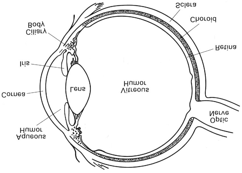 Structure of the human eye. Figure taken from Wistow (1995
