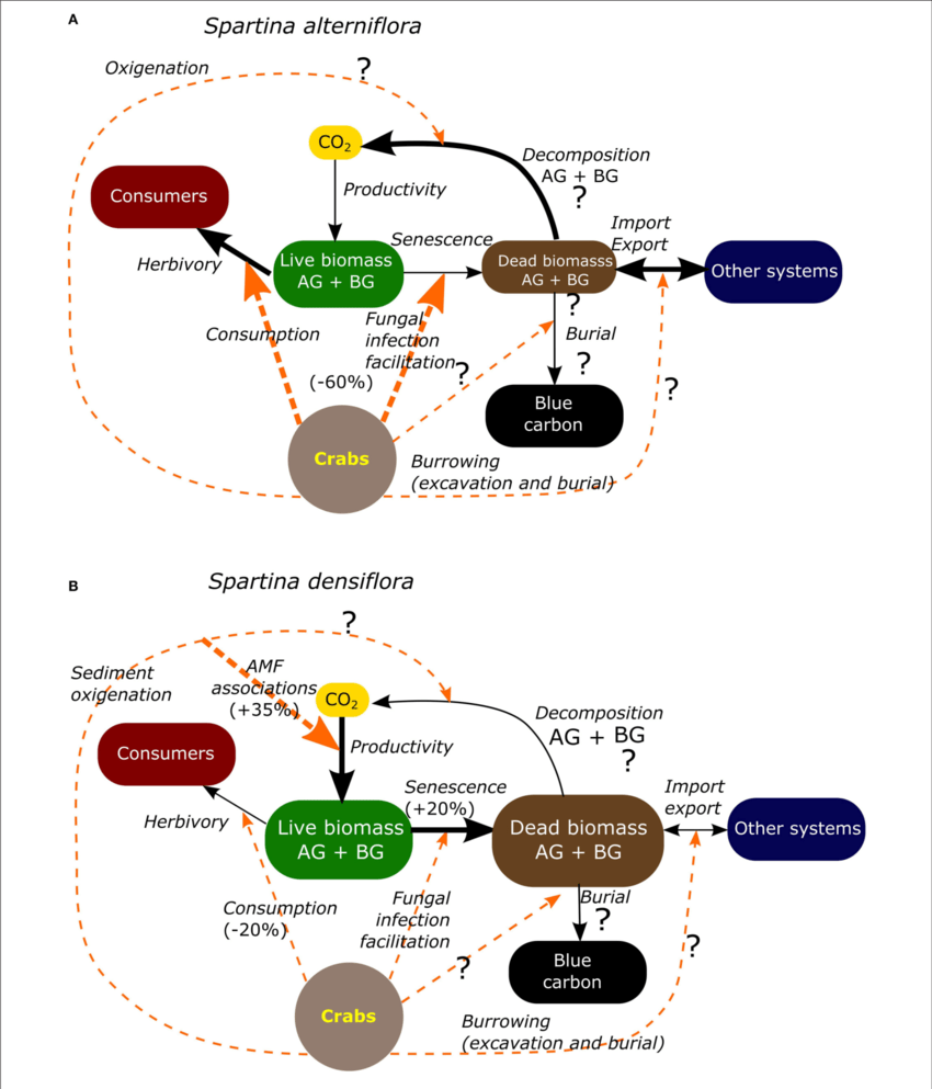 hight resolution of carbon transformation pathways in south american salt marsh dominated by spartina alterniflora a