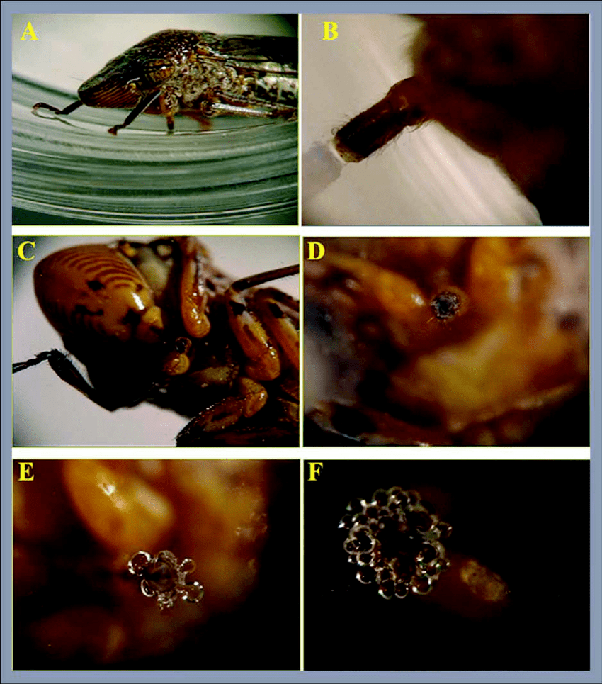 hight resolution of probing session sequence and deposition of saliva a glassy winged sharpshooter in microcentrifuge