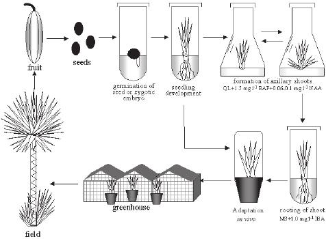 Scheme of clonal propagation of Yucca aloifolia L. tissue
