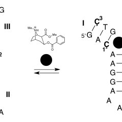 Proposed structural changes of the cocaine DNA aptamer