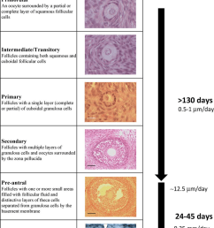 classification and features of ovine ovarian follicles from the reserve pool of primordial follicles until formation [ 850 x 1217 Pixel ]