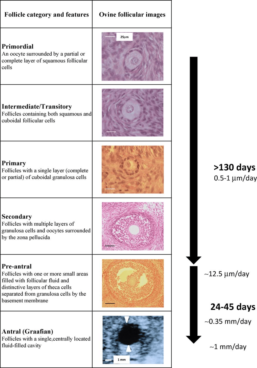 hight resolution of classification and features of ovine ovarian follicles from the reserve pool of primordial follicles until formation