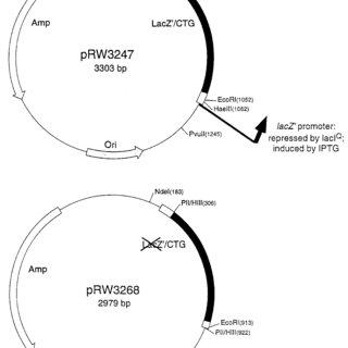 Schematic diagram of plasmids containing CTG·CAG triplet
