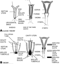 a classical diagram of the formation of the vagina from the m ller ducts and the urogenital sinus b representative diagram of the evolution of the  [ 850 x 997 Pixel ]