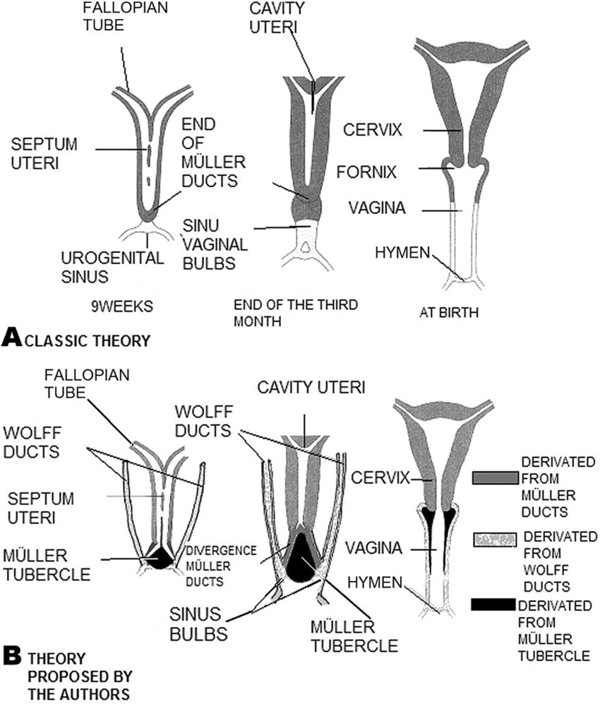 hight resolution of  a classical diagram of the formation of the vagina from the m ller ducts and the urogenital sinus b representative diagram of the evolution of the