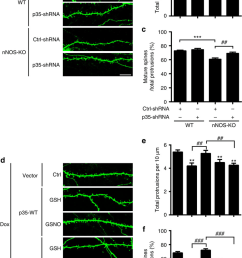 no signalling regulates spine density and morphology via p35 s nitrosylation at cys92 and downregulation [ 850 x 1359 Pixel ]