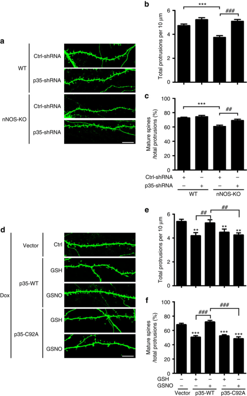 small resolution of no signalling regulates spine density and morphology via p35 s nitrosylation at cys92 and downregulation