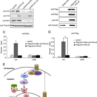 Brm genetically interacts with Hippo pathway components