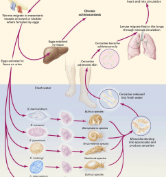 life cycle of human schistosomes adapted from reference 16 with download scientific diagram [ 792 x 1110 Pixel ]