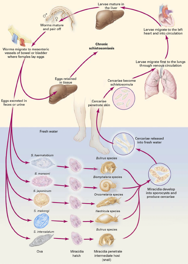 medium resolution of life cycle of human schistosomes adapted from reference 16 with download scientific diagram
