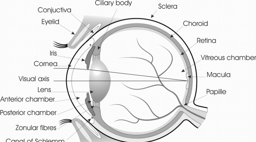 The basic anatomy of a human eye. (Printed with permission ...