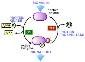 Afbeeldingsresultaat voor kinase