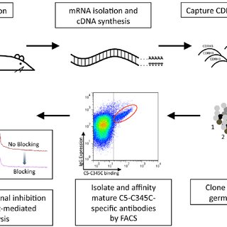 Kinetic and functional characterization of isolated C5