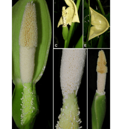 a inflorescence at pistillate anthesis nearside spathe artificially removed b detail of spadix uppermost portion of pistillate flower zone  [ 850 x 968 Pixel ]