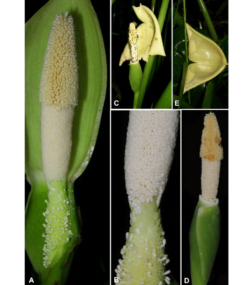 medium resolution of a inflorescence at pistillate anthesis nearside spathe artificially removed b detail of spadix uppermost portion of pistillate flower zone