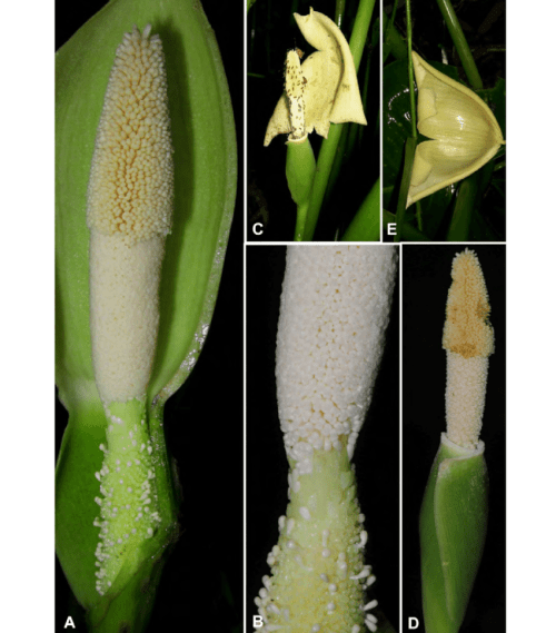 small resolution of a inflorescence at pistillate anthesis nearside spathe artificially removed b detail of spadix uppermost portion of pistillate flower zone