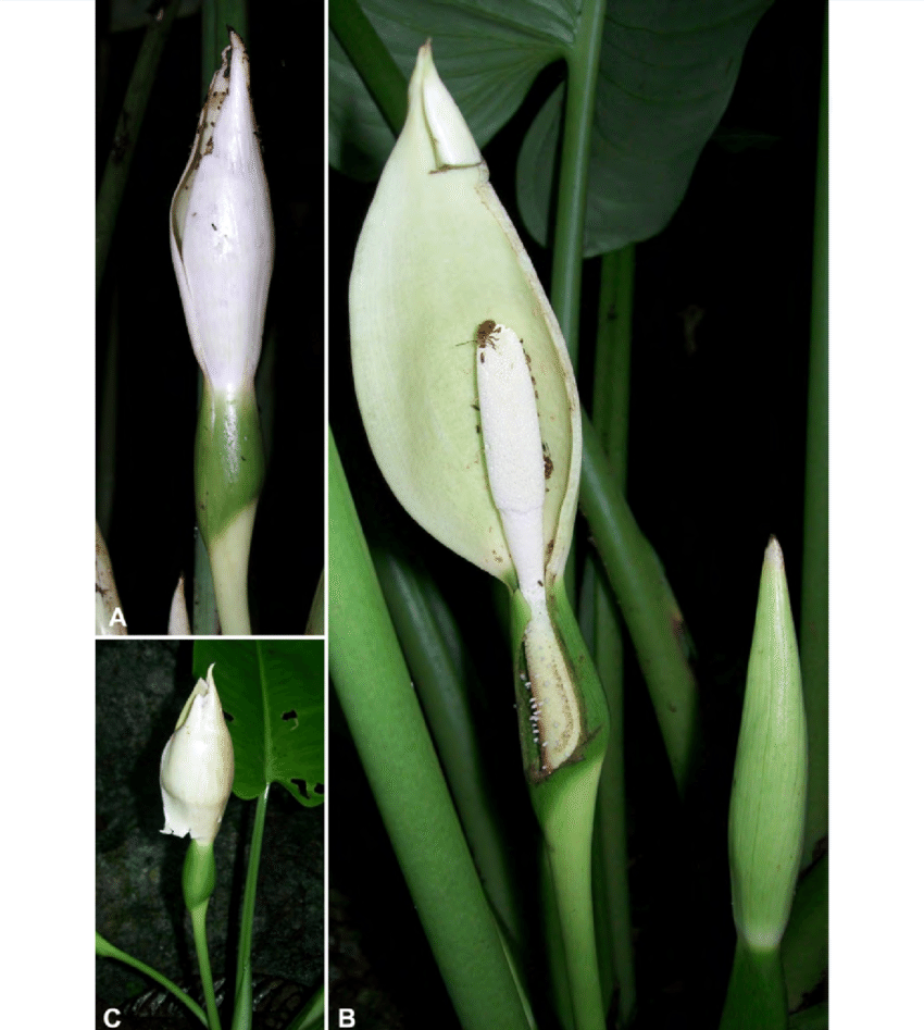 hight resolution of schismatoglottis muluensis m hotta a inflorescence at mid pistillate download scientific diagram