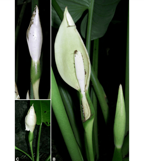 small resolution of schismatoglottis muluensis m hotta a inflorescence at mid pistillate download scientific diagram