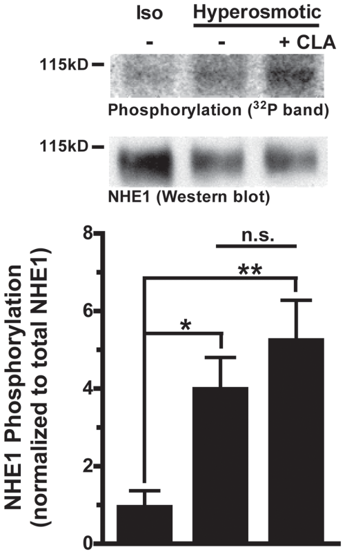 small resolution of in situ 32p orthophosphate labeling of nhe1 during cell suspension in download scientific diagram