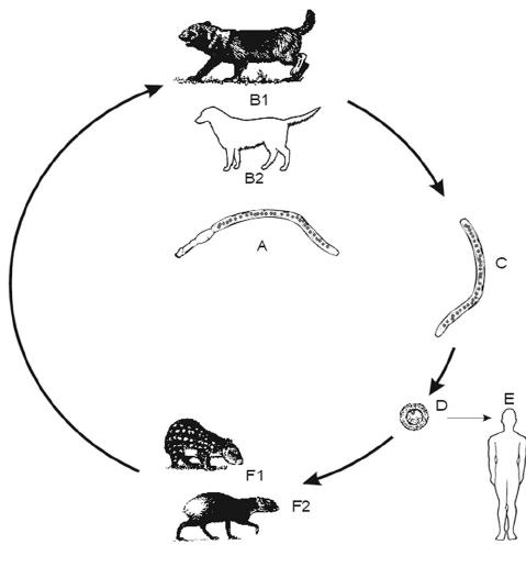 Life cycle of E. vogeli. (A): Adult parasite. (B) Bush dog
