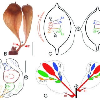 Anacardiaceae Diagram Of The Flower Floral Pdf Development Of Inflorescences Cupules And Flowers