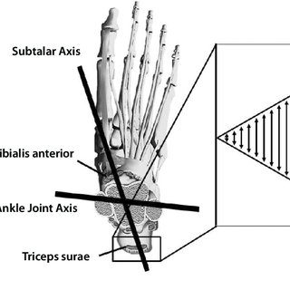 Intrinsic muscles of the foot. Plantar intrinsics: Layer 1