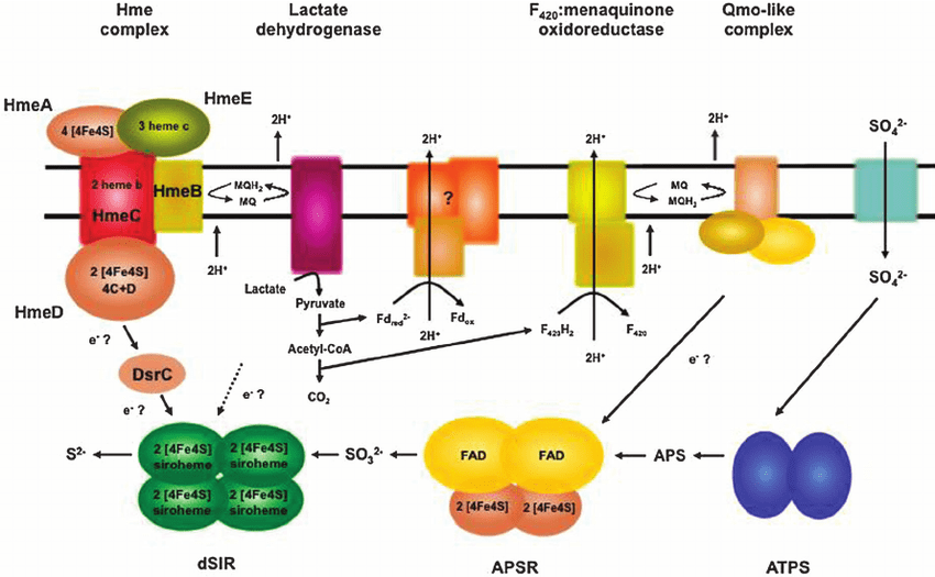 electron transport chain diagram for dummies 97 f150 power window wiring schematic representation of the and enzymes involved in energy metabolism a fulgidus with lactate as an source