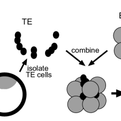 Labelled Diagram Of A Cow Alternator Wiring Diagrams Experimental Approach For Determining The Commitment Cattle Trophectoderm Cells Expanded Donor Blastocysts Are With Lipophilic Dye Dii