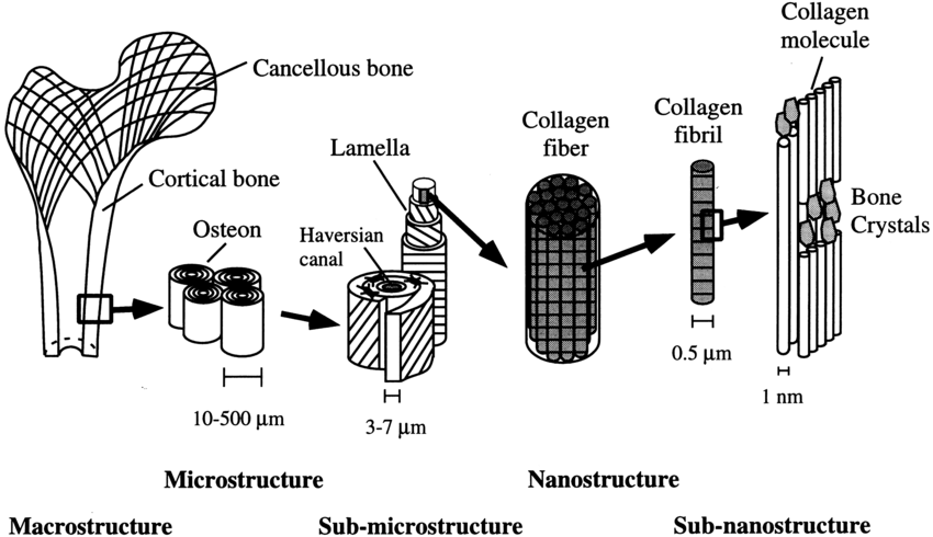 Hierarchical structural organization of bone: (a) cortical