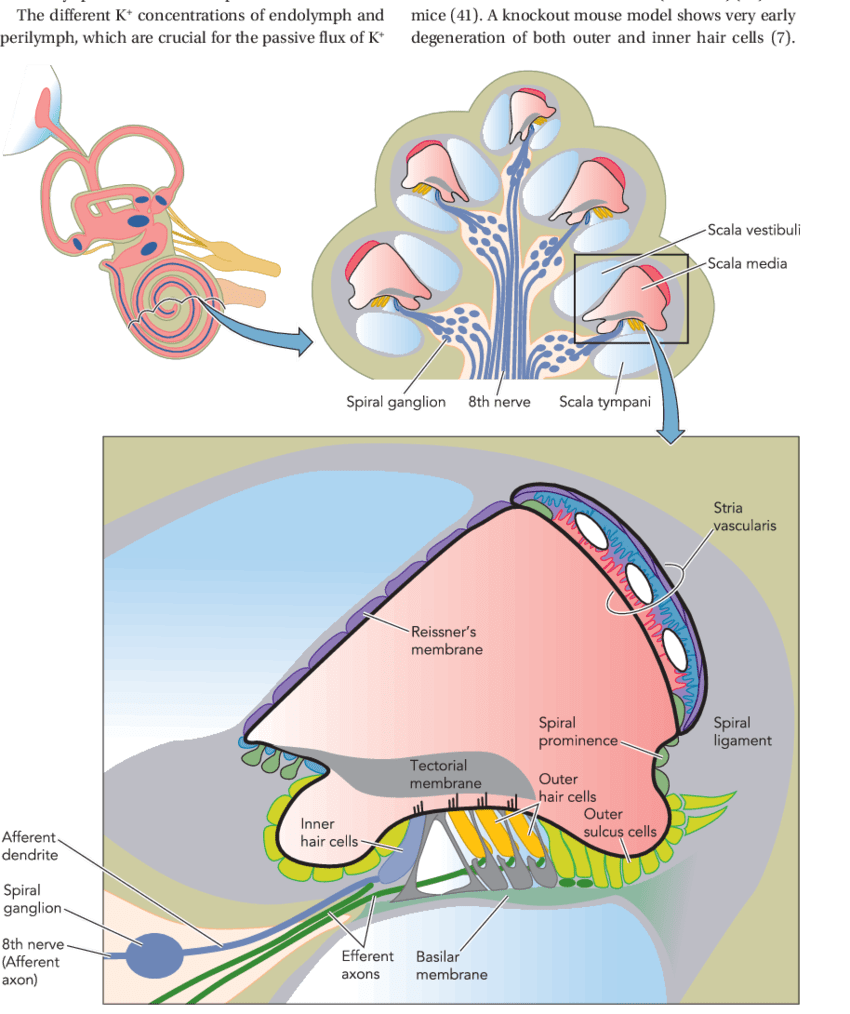 medium resolution of diagram of a cross section of the coiled cochlea