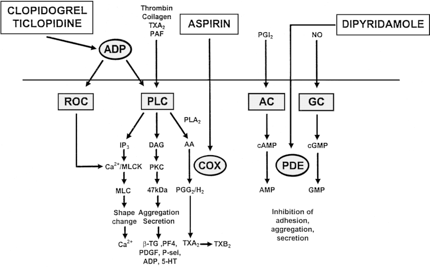 Control of platelet function. Schematic diagram showing