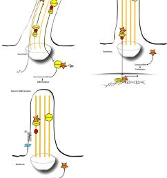 putative pathomechanism for renal cystic hyperplasia in bbs 2 top left urine flow through [ 850 x 1132 Pixel ]