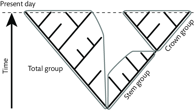 Stem, crown and total-group defi nitions, following Hennig