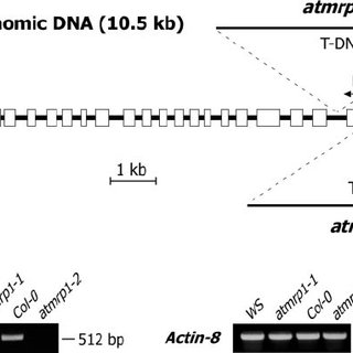 Schematic diagram depicting positions of T-DNA insertions