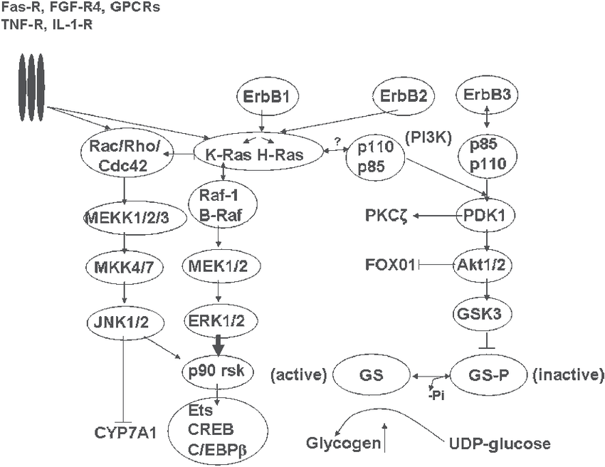 Major cell signaling pathways activated by bile acids in hepatocytes....   Download Scientific Diagram