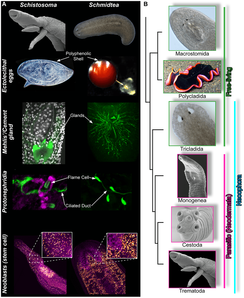 hight resolution of similarities between schistosomes and planarians a schistosomes left column and planarians